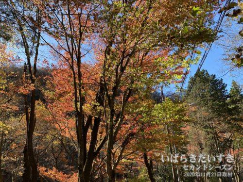 花貫ダム周辺の紅葉。