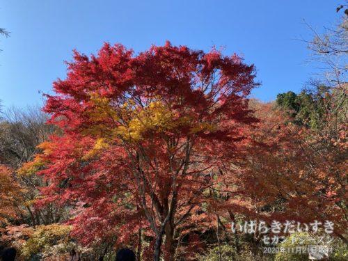 花園渓谷臨時駐車場の紅葉も鮮やかだ。