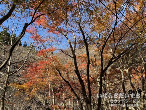 花園渓谷 徒歩道の紅葉。