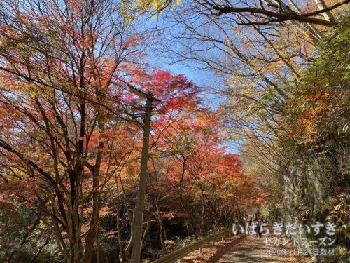 花貫渓谷の紅葉は何度も来てるけど、今年はBESTなタイミングだ。