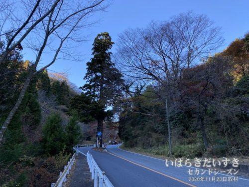 本山の一本杉。
