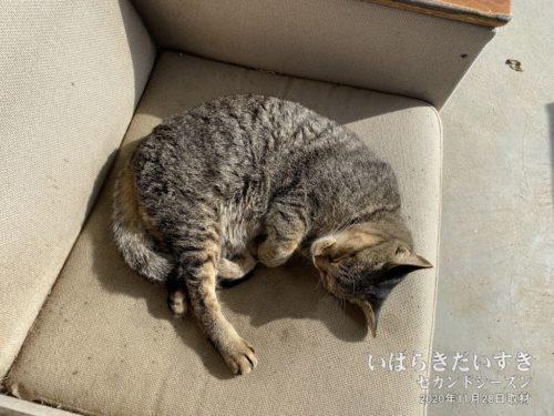 ソファーでお昼寝するネコチヤアン。