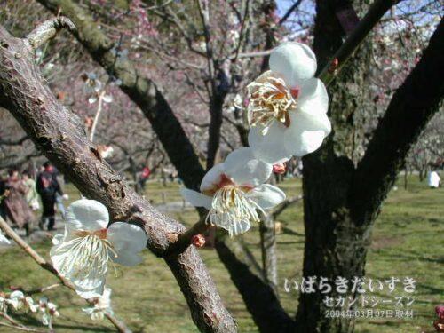 冬至梅(2004年)/ 水戸の梅まつり