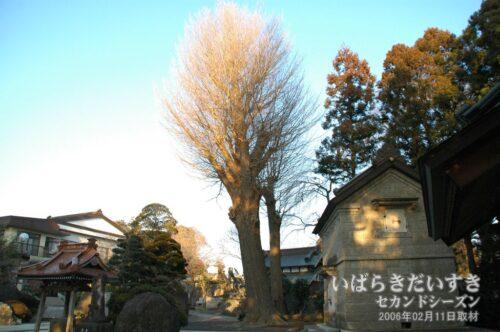無量寿寺 菩提樹 〔県指定天然記念物〕。