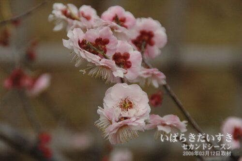 塒出錦 とやでにしき(2006年)/ 水戸の梅まつり