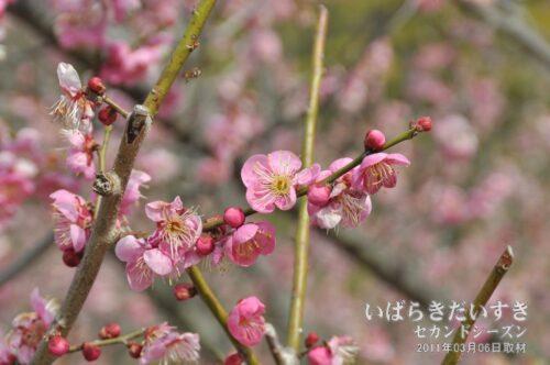 紅加賀(2011年)/ 水戸の梅まつり
