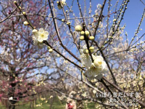 早春の梅の香り。偕楽園本園にて。