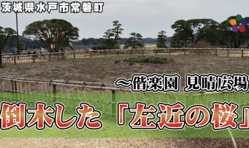倒木した「左近の桜」~偕楽園 見晴広場
