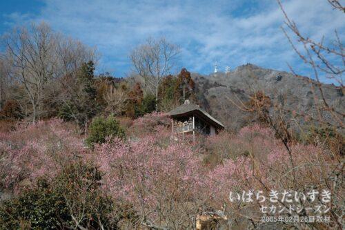 筑波山 梅まつり / 筑波山の斜面が梅のボリュームを与えてくれます。