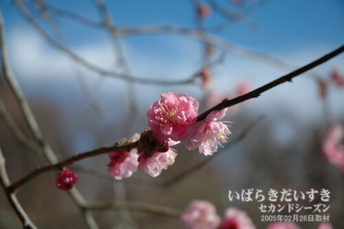 紅梅 / 筑波山梅まつり